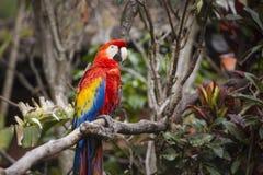 Keilschwanzsittichvogel hockte auf einer Niederlassung in einem Dschungel Stockbilder