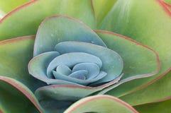 Keimblatt orbiculata Stockbild
