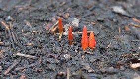 Keimen Sie Tulpe, die Blumen von unterhalb des Schnees im Vorfrühling erschienen stockfotografie