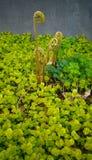 Keimungsfern among creeping jenny plant Stockbilder