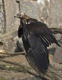 Keizer adelaar 2 Stock Afbeelding