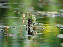Keizerlibel royalty-vrije stock foto