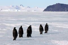 Keizerpinguïnen in Antarctica Royalty-vrije Stock Afbeeldingen