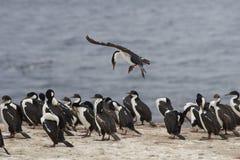 Keizerpluizig laken die in land komen - Falkland Islands Stock Foto's
