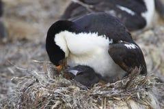 Keizerpluizig laken - Falkland Islands royalty-vrije stock fotografie