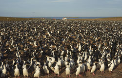 Keizerpluizig lakenkolonie - Falkland Islands Stock Afbeelding