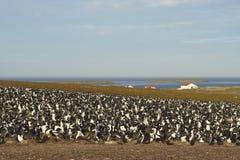 Keizerpluizig lakenkolonie - Falkland Islands Stock Foto's