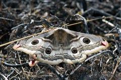 Kejsarenattfjäril i den Jutland pinjeskogen arkivbild