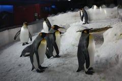 Kejsarepingvin i akvarium Royaltyfri Fotografi