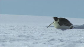 Kejsarepingvin på Antarktis stock video