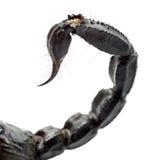 KejsareScorpion, Pandinus imperator, close upp royaltyfri bild