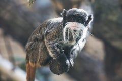 KejsareTamarinSaguinus imperator wild djur Royaltyfri Foto