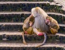 Kel för två kvinnlig hamadryasbabianer med en manlig hamadryasbabian, tropiska apor från Afrika royaltyfri bild