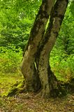 Kela två träd i forestAutumnen i skogen royaltyfri bild