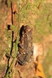 Kelaart's dwarf toad Royalty Free Stock Image