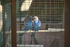 Keliga papegojor Royaltyfri Foto