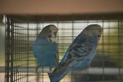 Keliga papegojor Arkivfoto