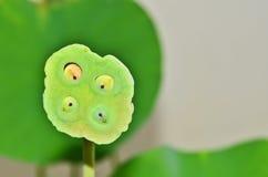 Kelk van lotusbloem stock afbeelding