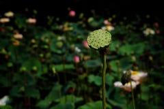 Kelk van lotusbloem op de vijverachtergrond van lotusbloemlotus royalty-vrije stock foto's