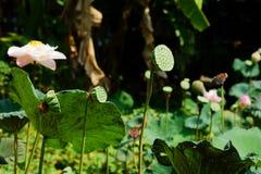 Kelk van lotusbloem op de vijverachtergrond van lotusbloemlotus stock foto's