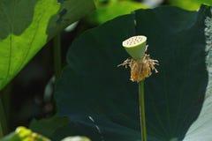 Kelk van waterlelie of lotusbloem royalty-vrije stock foto