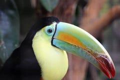 Kell-представленное счет Toucan Стоковые Фотографии RF