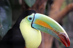 Kell-billed Toucan. Beautiful and colorfull Kell-billed Toucan Royalty Free Stock Photos