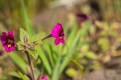 Kellogg \ 's-monkeyflower (Mimulus-kelloggii) blühend auf den Wiesen der Nordtafelberg-ökologischen Reserve, Oroville, stockbild