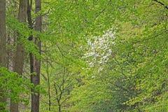 kellogg lasowa wiosna Fotografia Stock