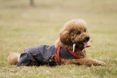 kelly σκυλιών Στοκ Εικόνες