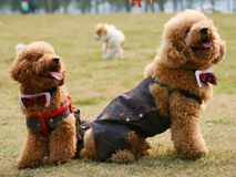 kelly σκυλιών Στοκ φωτογραφία με δικαίωμα ελεύθερης χρήσης