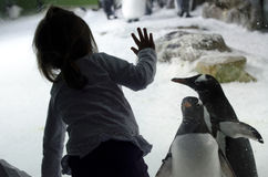Kelly Tarltons Sea World. AUCKLAND, NZ - APRIL 26: Little girl interact with Gentoo Penguins in Kelly Tarltons sea world on April 26 2013. It's the world's Stock Photography