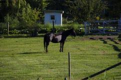 Kelowna, BC. Horse in the farmhouse in Kelowna BC Stock Photo