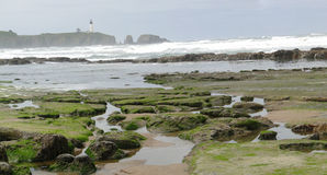 kelp παραλιών λικνίζει το φύκι Στοκ Εικόνα