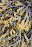 Kelp Stock Image