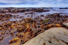 Kelp stock photos