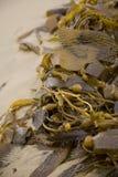 kelp Zdjęcie Stock