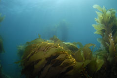 Kelp Background 3 Royalty Free Stock Photography