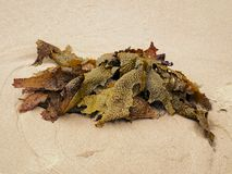 Kelp on Beach Royalty Free Stock Photos