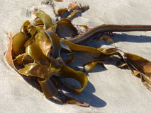 Kelp  on  beach Stock Photography