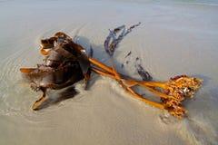 Kelp on the beach Stock Photos