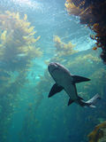Shark in kelp bed aquarium Stock Image