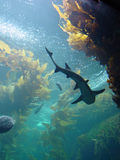 Shark in kelp bed aquarium Royalty Free Stock Image
