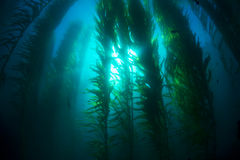 Kelp bed Royalty Free Stock Photo