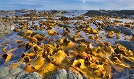 Kelp bij Kustlijn dichtbij Kaikoura, Nieuw Zeeland Stock Foto