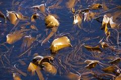 Kelp che cresce nel mare calmo fotografie stock
