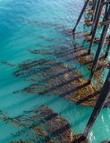 Kelp clings to the pier structure Royalty Free Stock Images