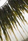 Kelp commestibile fotografie stock