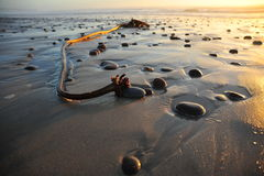 Kelp del mare fotografia stock