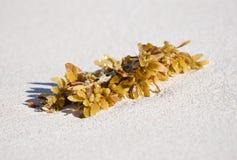 Kelp dell'erbaccia del mare sulla sabbia Fotografia Stock